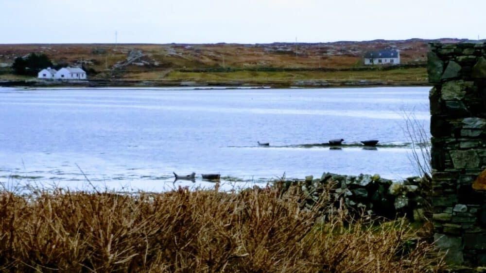 Seals on Mannin Bay
